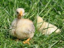 Pequeño pollo en la hierba Fotografía de archivo