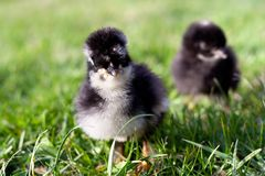 Pequeño pollo en la hierba Imágenes de archivo libres de regalías