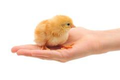 Pequeño pollo en la mano Fotos de archivo libres de regalías