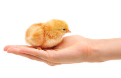 Pequeño pollo en la mano Imágenes de archivo libres de regalías