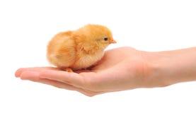 Pequeño pollo en la mano Imagen de archivo