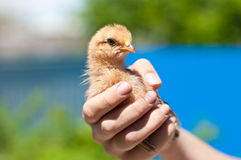 Pequeño pollo en la mano de la mujer Imagenes de archivo