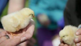 Pequeño pollo en las manos de los niños almacen de video