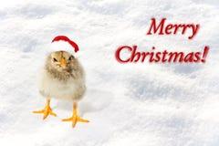 Pequeño pollo en los sombreros rojos de Papá Noel Feliz Navidad, nuevo feliz Fotos de archivo