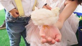 Pequeño pollo en una mano del ` s de la mujer almacen de video