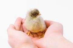 Pequeño pollo lindo fotos de archivo libres de regalías