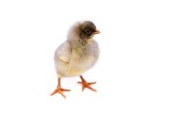 Pequeño pollo lindo fotos de archivo