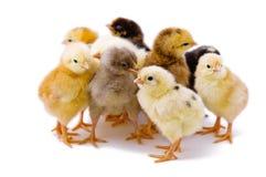 Pequeño pollo lindo foto de archivo libre de regalías