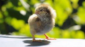 Pequeño pollo lindo metrajes