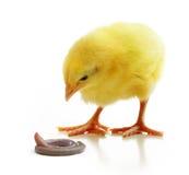 Pequeño pollo lindo aislado Imagenes de archivo