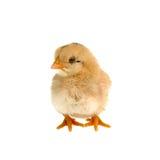 Pequeño pollo lindo aislado en el fondo blanco Imágenes de archivo libres de regalías