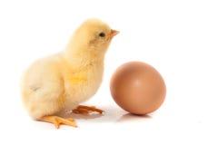 Pequeño pollo lindo con el huevo aislado en el fondo blanco Imágenes de archivo libres de regalías