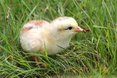 Pequeño pollo lindo en hierba Fotografía de archivo libre de regalías