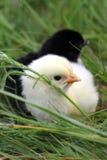 Pequeño pollo lindo en hierba Foto de archivo libre de regalías