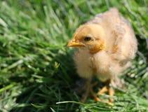 Pequeño pollo que me mira Fotos de archivo