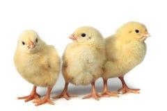 Pequeño pollo tres Fotos de archivo libres de regalías