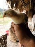 Pequeño polluelo foto de archivo