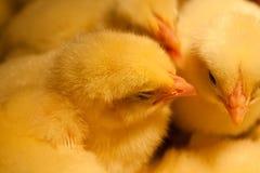 Pequeño polluelo amarillo Foto de archivo