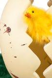 Pequeño polluelo amarillo inquisitivo de Pascua Foto de archivo libre de regalías