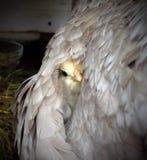 Pequeño polluelo debajo de las alas de la gallina Fotografía de archivo