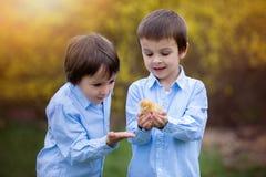 Pequeño polluelo en las manos del niño, dos muchachos que miran los polluelos imagen de archivo libre de regalías