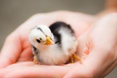 Pequeño polluelo en manos Foto de archivo