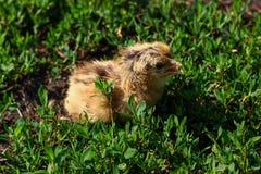 Pequeño polluelo hermoso en la hierba verde Fotografía de archivo libre de regalías