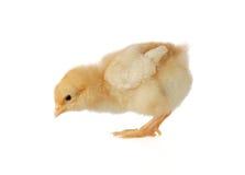 Pequeño polluelo que busca el alimento Imagen de archivo