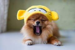Pequeño Pomeranian que se sienta en trajes divertidos Fotos de archivo