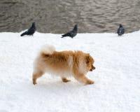 Pequeño Pomeranian rojo divertido en un paseo en el parque en el invierno fotos de archivo