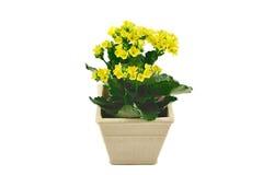 Pequeño pote con las flores amarillas Fotografía de archivo
