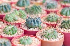 Pequeño pote de la planta del cactus. Fotos de archivo libres de regalías