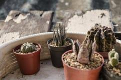 Pequeño pote del cactus Fotos de archivo libres de regalías