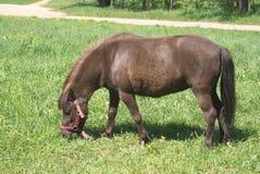 Pequeño potro de Brown en harness que come la hierba al aire libre Fotos de archivo