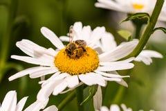 Pequeño primer de la abeja encima de una flor de la margarita blanca Imágenes de archivo libres de regalías