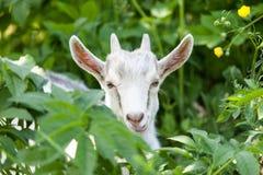 Pequeño primer de la cabra Fotografía de archivo libre de regalías