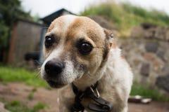 Pequeño primer del perro Fotos de archivo