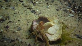 Pequeño pugilator de Diógenes del cangrejo de ermitaño en la cáscara del venosa de Rapana almacen de metraje de vídeo