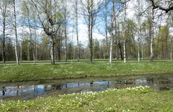 Pequeño río con una lenteja de agua, un canal en el parque, los abedules en costa y los snowdrops florecientes Fotografía de archivo libre de regalías