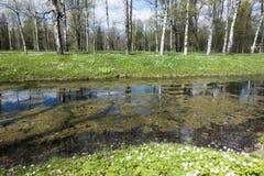 Pequeño río con una lenteja de agua, un canal en el parque, los abedules en costa y los snowdrops florecientes Imagen de archivo libre de regalías