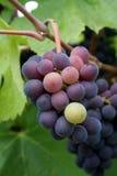 Pequeño racimo de la uva Foto de archivo libre de regalías