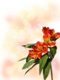 Pequeño ramo de alstroemeria rojo en un fondo coloreado Fotos de archivo
