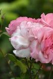 Pequeño ramo de rosas Foto de archivo