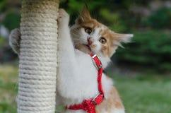 Pequeño rasguño lindo de la tenencia del gatito del blanco-jengibre foto de archivo libre de regalías