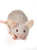 Pequeño ratón