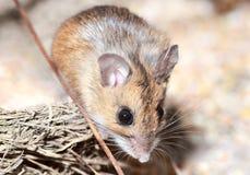 Pequeño ratón Imagenes de archivo