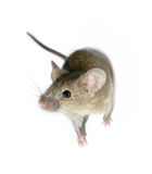 Pequeño ratón aislado Foto de archivo libre de regalías