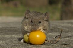 Pequeño ratón con el tomate Imagen de archivo libre de regalías