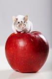 Pequeño ratón divertido en manzana roja grande Fotos de archivo