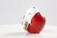 Pequeño ratón divertido en manzana roja grande Imagen de archivo libre de regalías